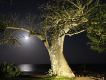 moonlight with baobab