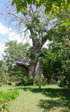 baobab and platform