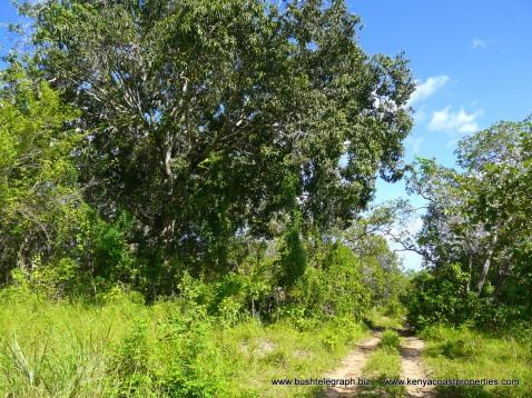 P11 near big mango tree