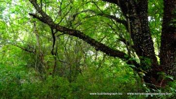tree canope