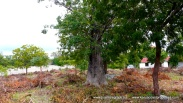 Wall baobab