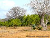 kilifi-plot-baobab