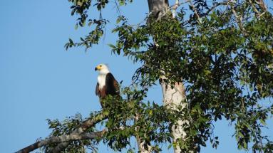 Fish eagle2