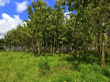 Plot 1381 Farm Teak Trees