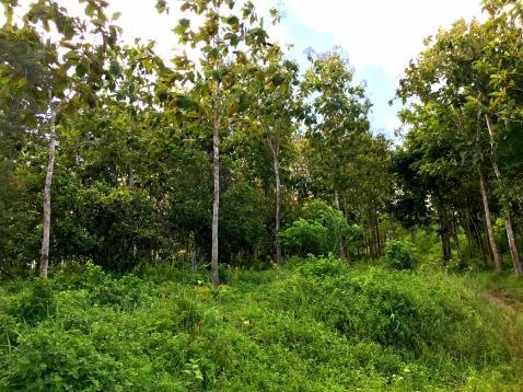 Plot 1381 Teak Trees-7