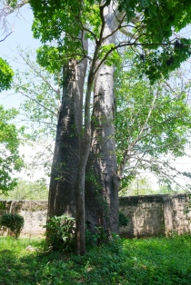 baobab in corner