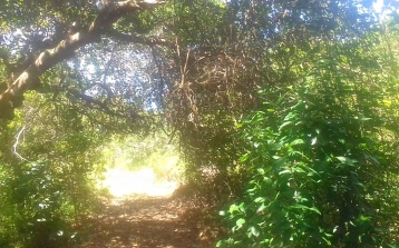 path to mangoes