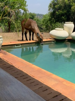 waterbuck drinking from pool2